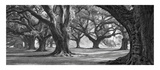 Oak Alley West Row Prints by William Guion