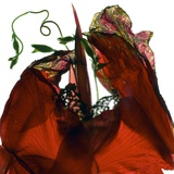 Morning Glory Canna Red Photographic Print by Julia McLemore