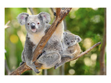 Australian Koala Bear & Baby Plakat