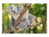 Australian Koala Bear & Baby Poster