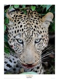 Leopard after the Kill Giclee Print by Martin Fowkes