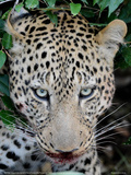 Leopard after the Kill Full Bleed Giclee Print by Martin Fowkes