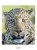 Head of a Leopard Giclee Print by Martin Fowkes