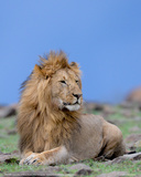 Lion at Rest Full Bleed Giclee Print by Martin Fowkes
