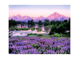 Tetons and Lupine Prints by Gary Crandall