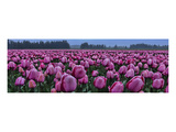 Schwartz - Tulips Galore Prints by Don Schwartz