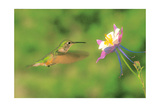 Hummer and Columbine Print by Gary Crandall