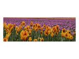 Schwartz - Tulip Explosio Prints by Don Schwartz