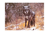 Black Wolf Posters by Gary Crandall