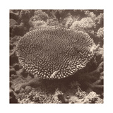 Sepia Barrier Reef Coral II Prints by Kathy Mansfield