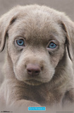 Puppy- Blue Eyes Poster by Keith Kimberlin