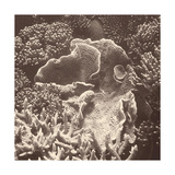 Sepia Barrier Reef Coral III Prints by Kathy Mansfield