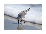 Sandpiper I Prints by Bruce Nawrocke