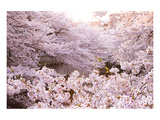 White Pink Cherry Blossoms Posters