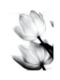 Translucent Tulips II Print by Debra Van Swearingen