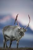 Svalbard Reindeer Portrait Photographic Print by Ole Jorgen Liodden