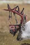 Svalbard Reindeer With Bloody Antlers Photographic Print by Staffan Widstrand