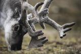 Svalbard Reindeer Antlers In Velvet Photographic Print by Ole Jorgen Liodden