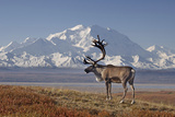 Reindeer, Enali National Park Photographic Print by Steven Kazlowski