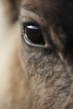 Reindeer Close Up Of Eye Photographic Print by Laurie Campbell