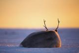 Svalbard Reindeer Photographic Print by Espen Bergersen