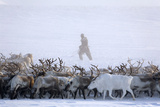 Chukchi Man Rounding Up Herd Of Reindeer Photographic Print by Bryan and Cherry Alexander