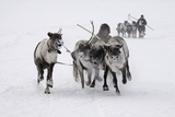 Khanty Men And Reindeer Photographic Print by Bryan and Cherry Alexander