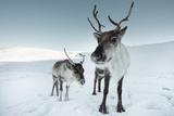 Reindeer Female Fotografisk tryk af Ann & Steve Toon
