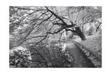 Japanese Garden, Infrared - Brooklyn Botanic Gardens, Tree Photographic Print by Henri Silberman