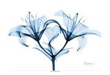 Indigo Starflame Lily Prints by Albert Koetsier