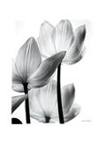 Translucent Tulips III Poster by Debra Van Swearingen