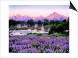 Tetons and Lupine Print by Gary Crandall