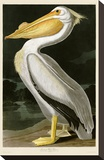 American White Pelican Stretched Canvas Print by John James Audubon
