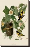 Baltimore Oriole Stretched Canvas Print by John James Audubon