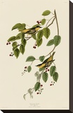 Carbonated Warbler Stretched Canvas Print by John James Audubon
