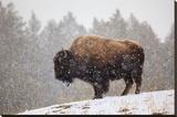 Bison in Snow Impressão em tela esticada por Jason Savage
