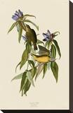 Connecticut Warbler Stretched Canvas Print by John James Audubon