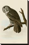Great Cinereous Owl Stretched Canvas Print by John James Audubon