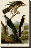 Goshawk and Stanley Hawk Stretched Canvas Print by John James Audubon