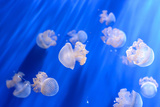 White Transparent Jellyfish or Jellies, Medusa, Swiming in A Blue Aquarium Photographic Print by  PhotoTomek