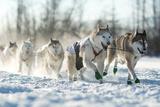 Dog Sled Team Fotografisk trykk av Andrew Reid