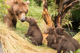 Four Bear Cubs Greet Mother beside Tree Photographic Print by Nick Dale