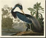 Louisiana Heron Stretched Canvas Print by John James Audubon
