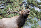 Bull Elk Cry Photographic Print by Michael Peak