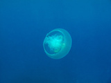 Moon Jellyfish Photographic Print by  tonguy324