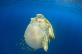 Green Sea Turtle Feeds on Large Pelagic Jellyfish Photographic Print by Rich Carey