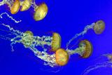 Orange Nettle Jellyfish Photographic Print by  sergey02