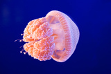 Jellyfish Photographic Print by  ymgerman