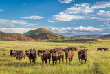 Open Range Cattle Grazing at Foothills of Rocky Mountains in Northern Colorado, Summer Scenery Photographic Print by  PixelsAway