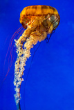 The Large, Beautiful, Orange Pacific Sea Nettle Jellyfish. Photographic Print by Richard McMillin